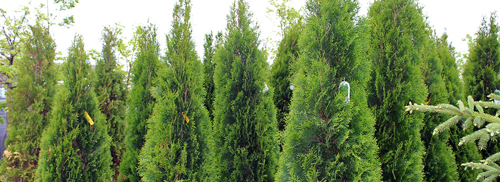 Evergreen Trees, Shrubs, and Plants in Appleton, WI