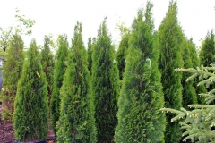 Evergreen Trees and Plants in Outagamie County