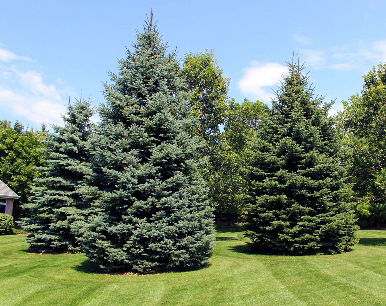 Image gallery evergreen trees for The evergreen