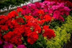 05232017-- Seasonals & Annuals-3