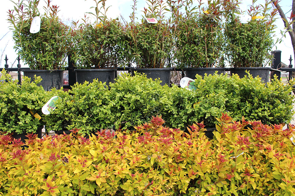 Shrubs and Bushes for Sale in Appleton, WI