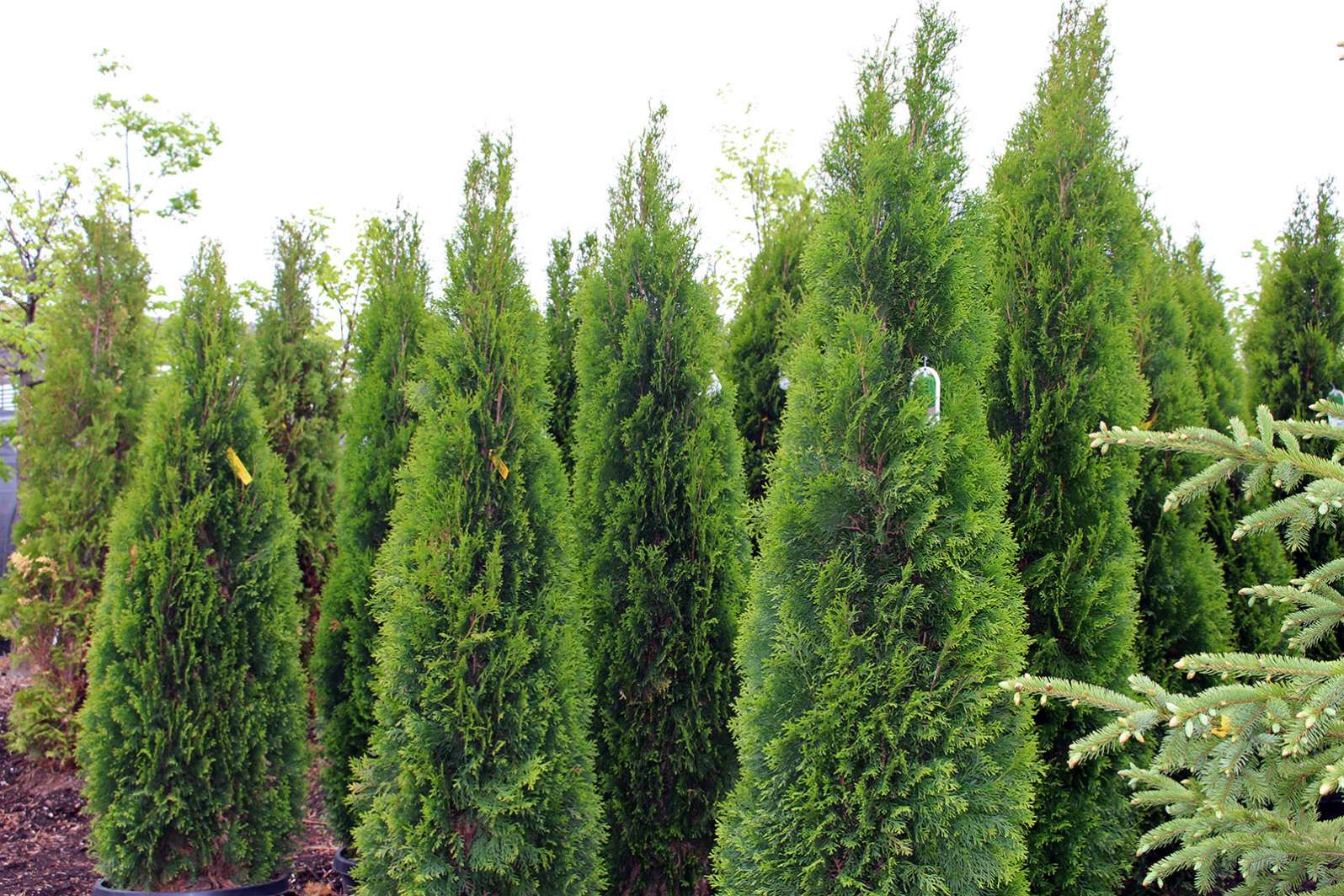 Evergreen Trees And Plants In Leton Wi