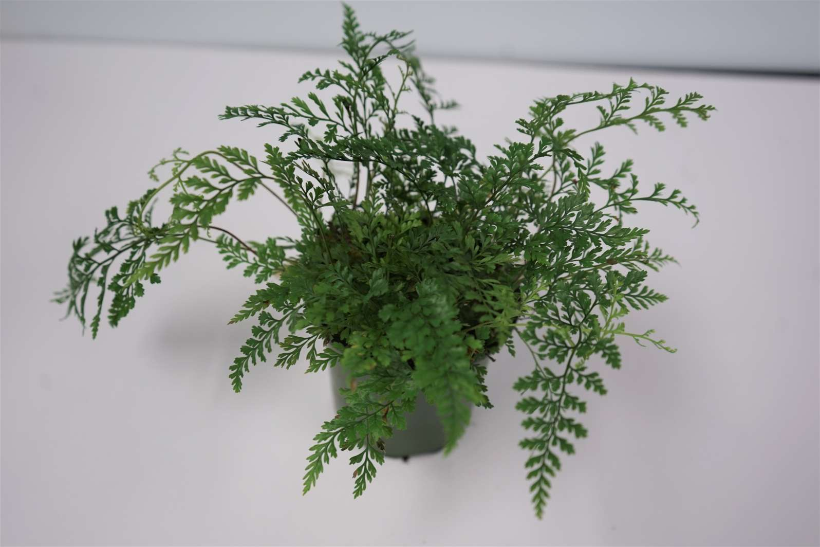 Rabbit Paw Fern