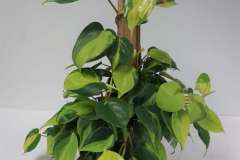 Philodendron Totem