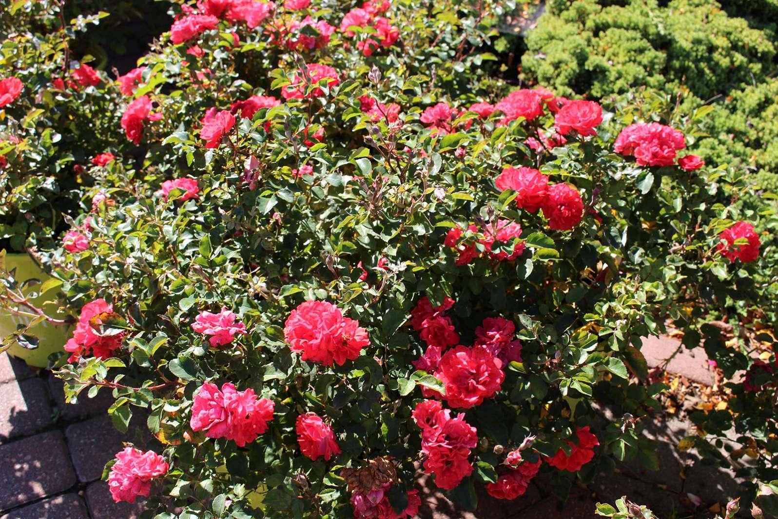 Image result for shrubs for landscaping