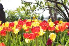 Spring Tulip Bulbs in Fox Cities, WI