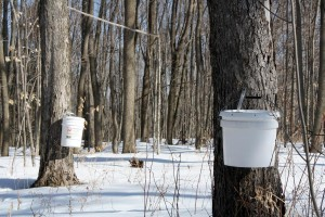 Maple Syrup Collection